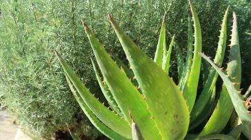 Zwischen Eberraute und Kap-Aloe